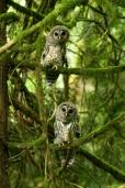Juvenile barred owls