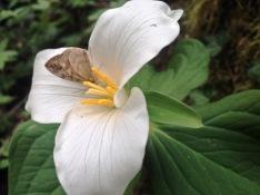 Western Trillium (Trillium ovatum)