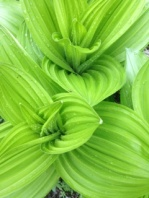 False Hellebore (Veratrum californicum)