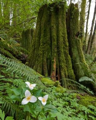Trilliums with cedar stump