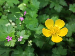 Buttercup beauty