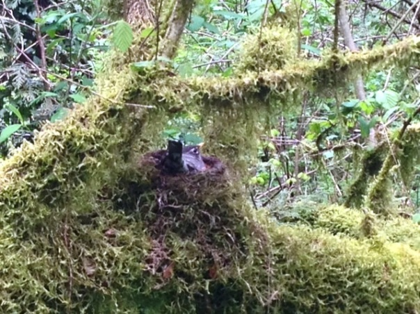 Robin nestled among the moss