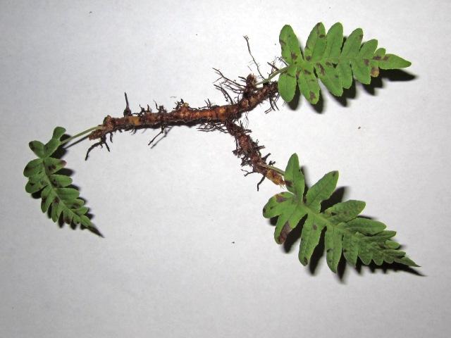Fern Rhizome Licorice fern |...
