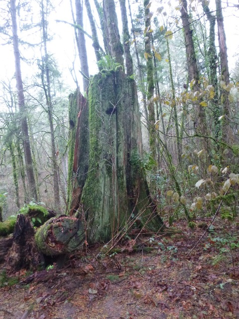 Old stump on Big Fir trail