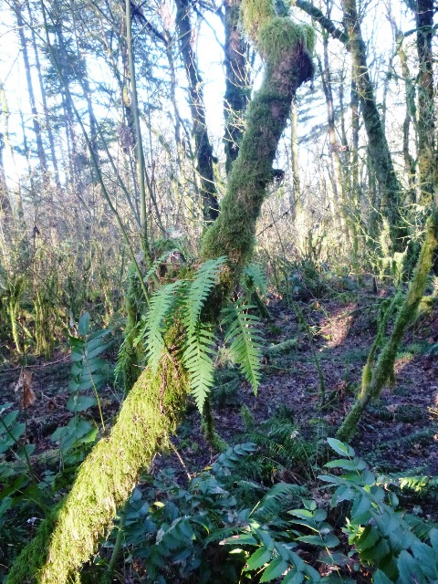 Licorice fern on Vine Maple
