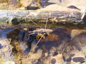 Water_strider_-_surface_tension