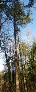 Photo 6_Douglas-fir with very few dead branches