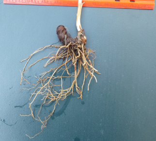 Rhizome and root system of a trillium