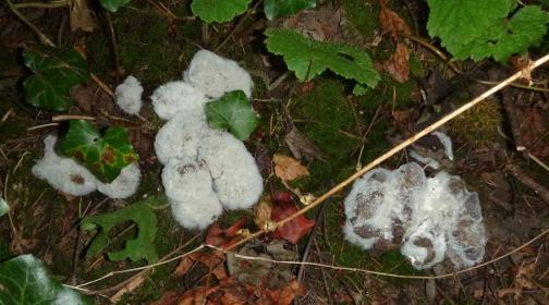 Fungi decaying dog feces alongside Old Main Trail