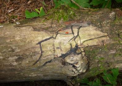 Black rhizomorphs of Armillaria mellea often grow between the wood and the bark