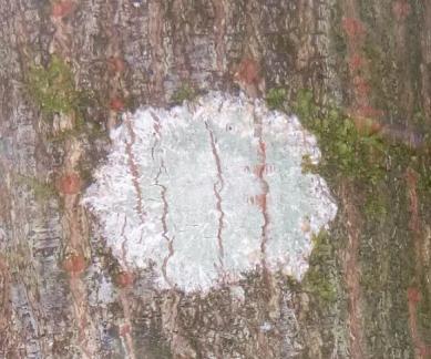 Crustose lichen on tree bark