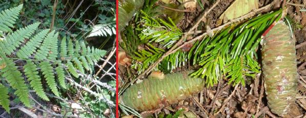 Left: Bracken fern near TCSNA bike path. Right: Needles and cones of grand fir near Cedar Trail